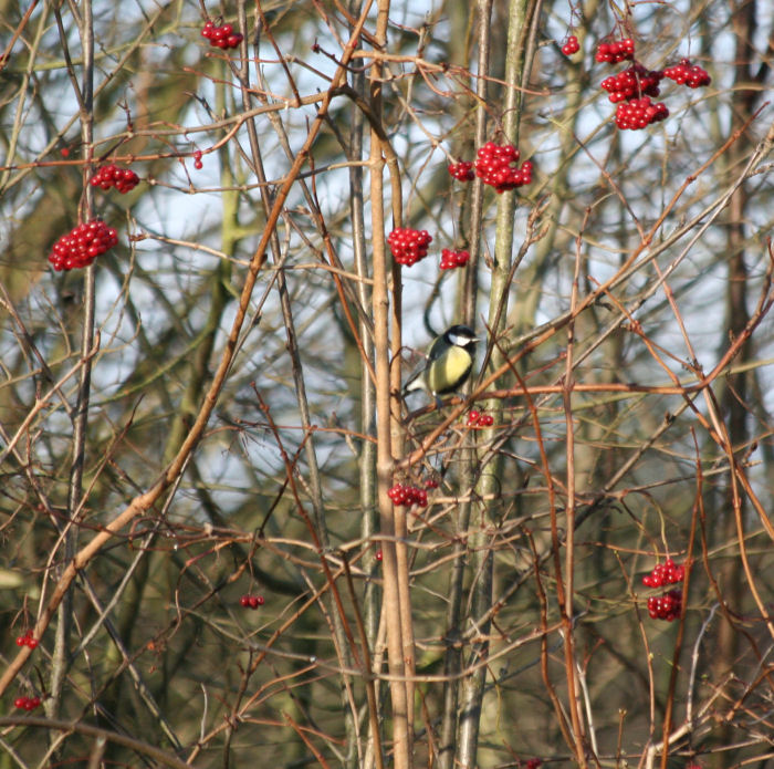 Great Tit in Guelder Rose