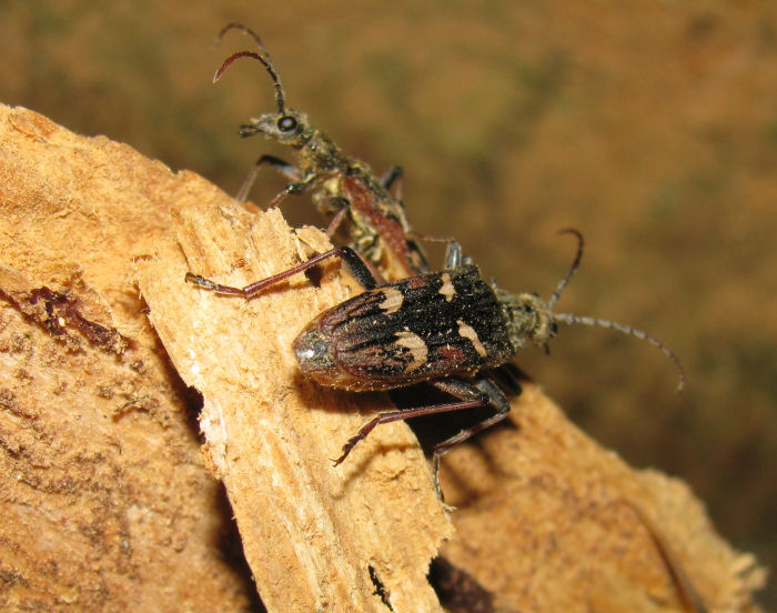 Two Two Banded Longhorn Beetles