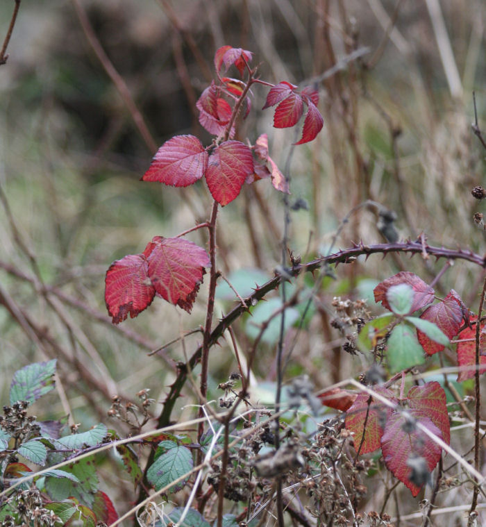 Red coloured Bramble leaves