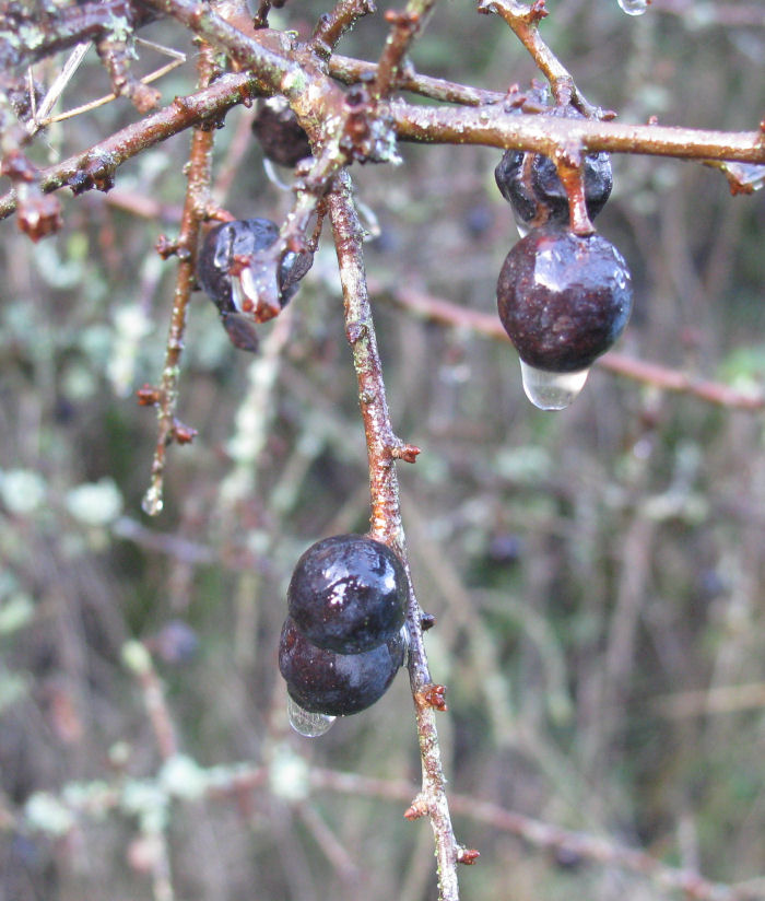 Water droplet on Sloe berry