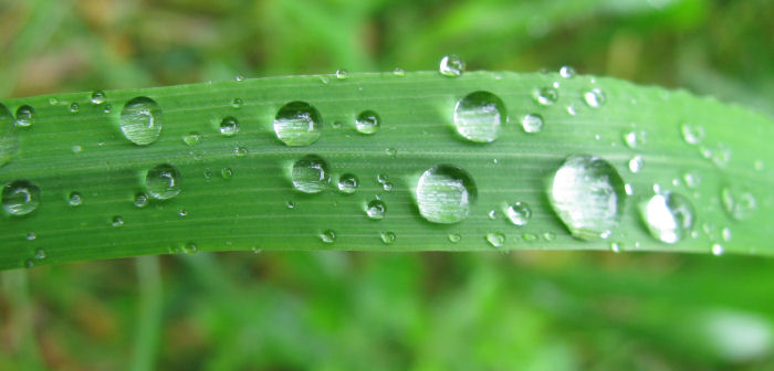 Water droplets on a grass leaf