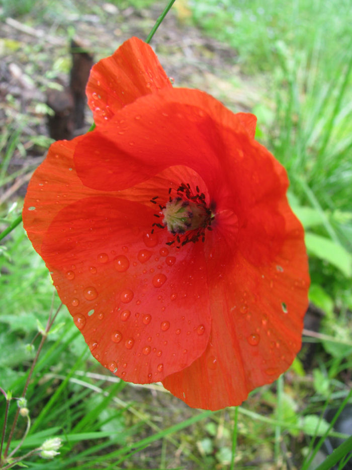 Red Poppy with rain drops