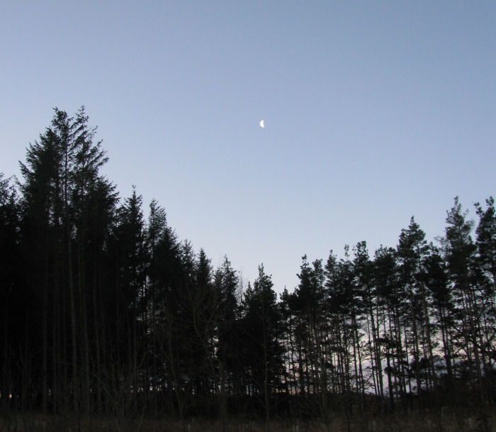 Moon over the conifers