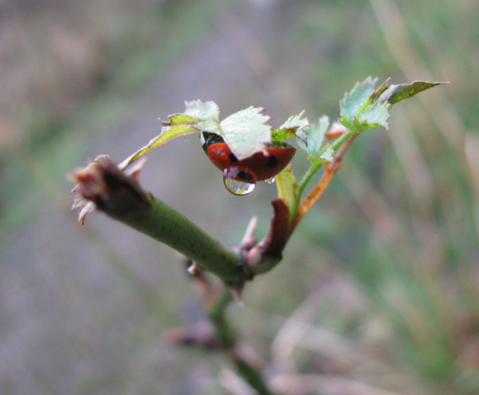 Ladybird with water droplet