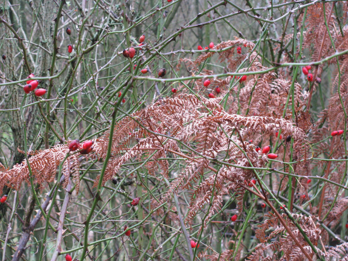 Rose hips against orange bracken