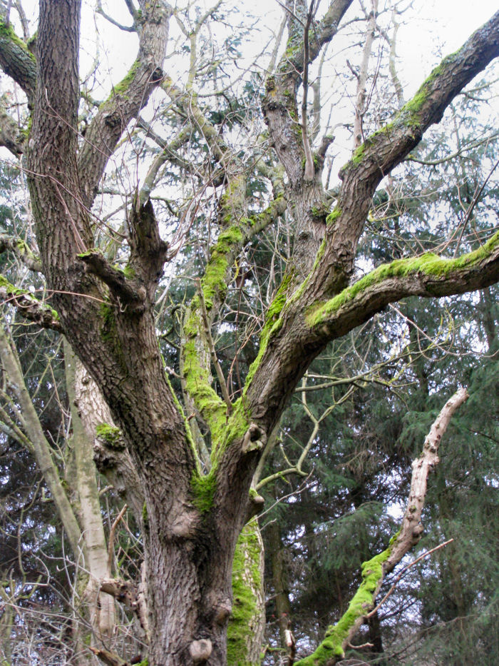 Moss on the Ash tree