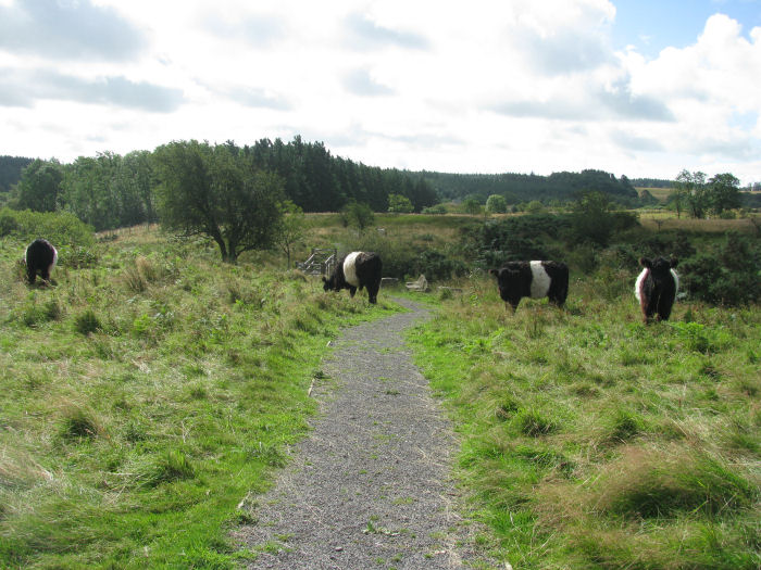 Belted Galloways on the moor