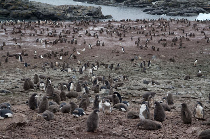The Adelie Penguins