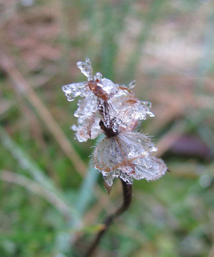Self Heal seed head covered in frsot