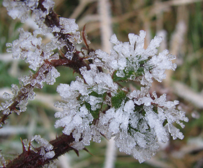 Bramble leaves covered in frost