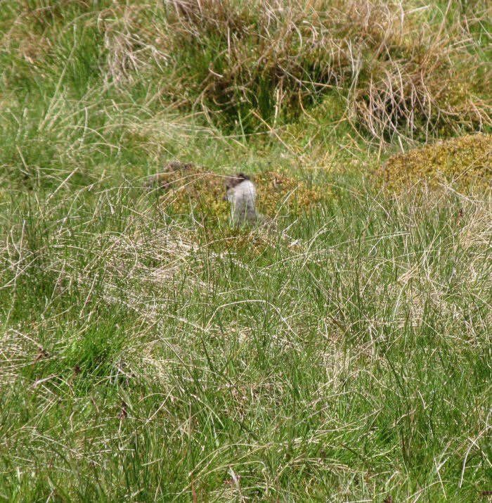 Camouflaged Lapwing chick