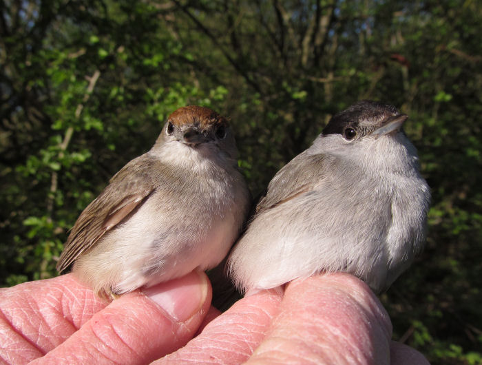 Male and female Blackcap