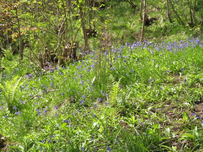 Bluebells along Risedale Beck