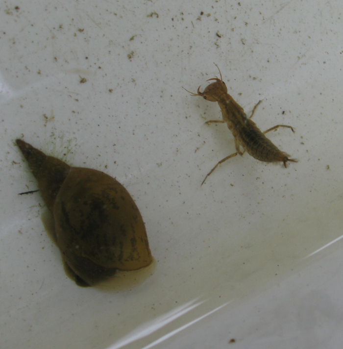 Diving Beetle larva and Pond Snail