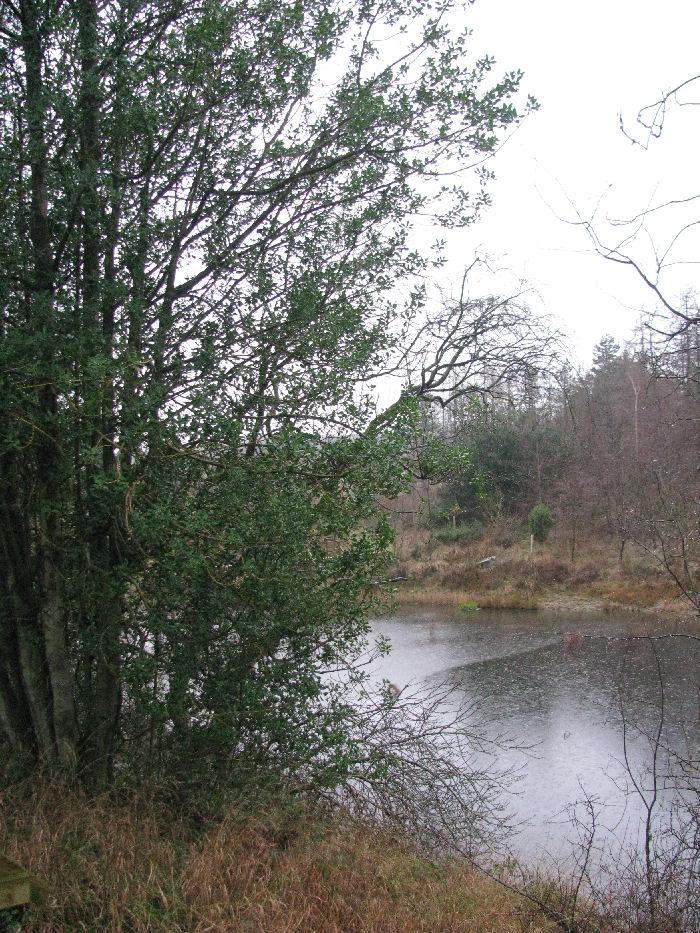 Holly tree by lake