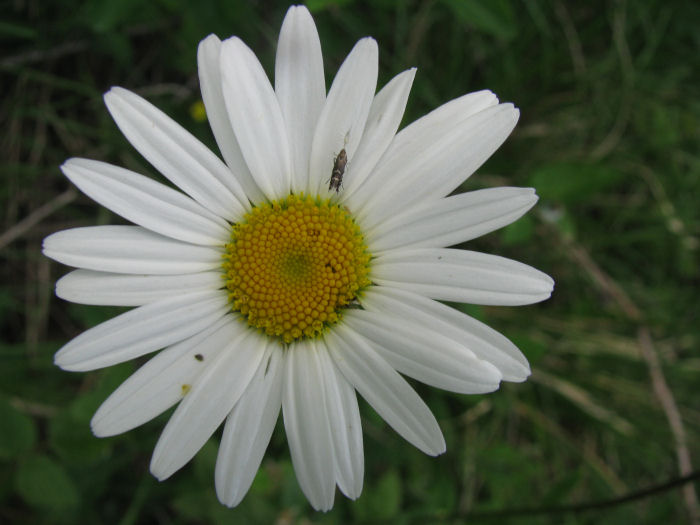 Dog or Ox Eye Daisy