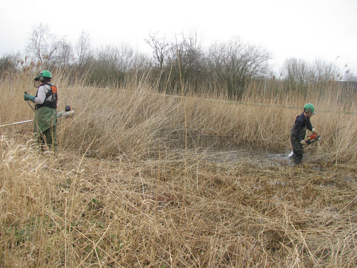 cutting the reed bed