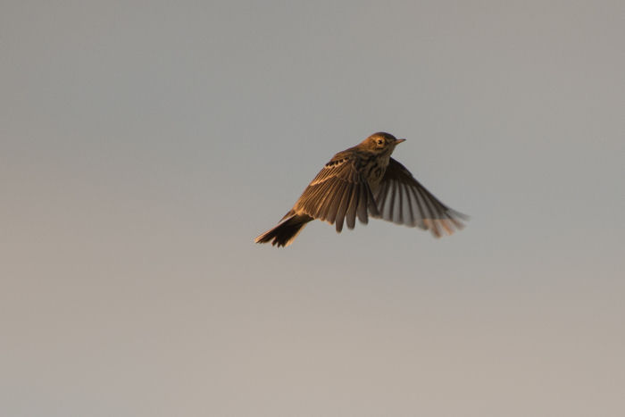 Flying Meadow Pipit