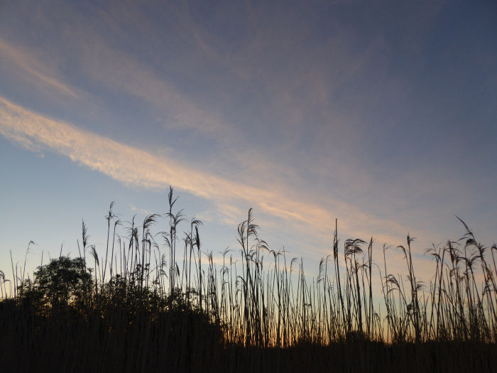 Dawn approaching over the reed bed