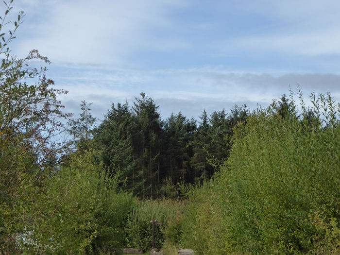 Green conifers