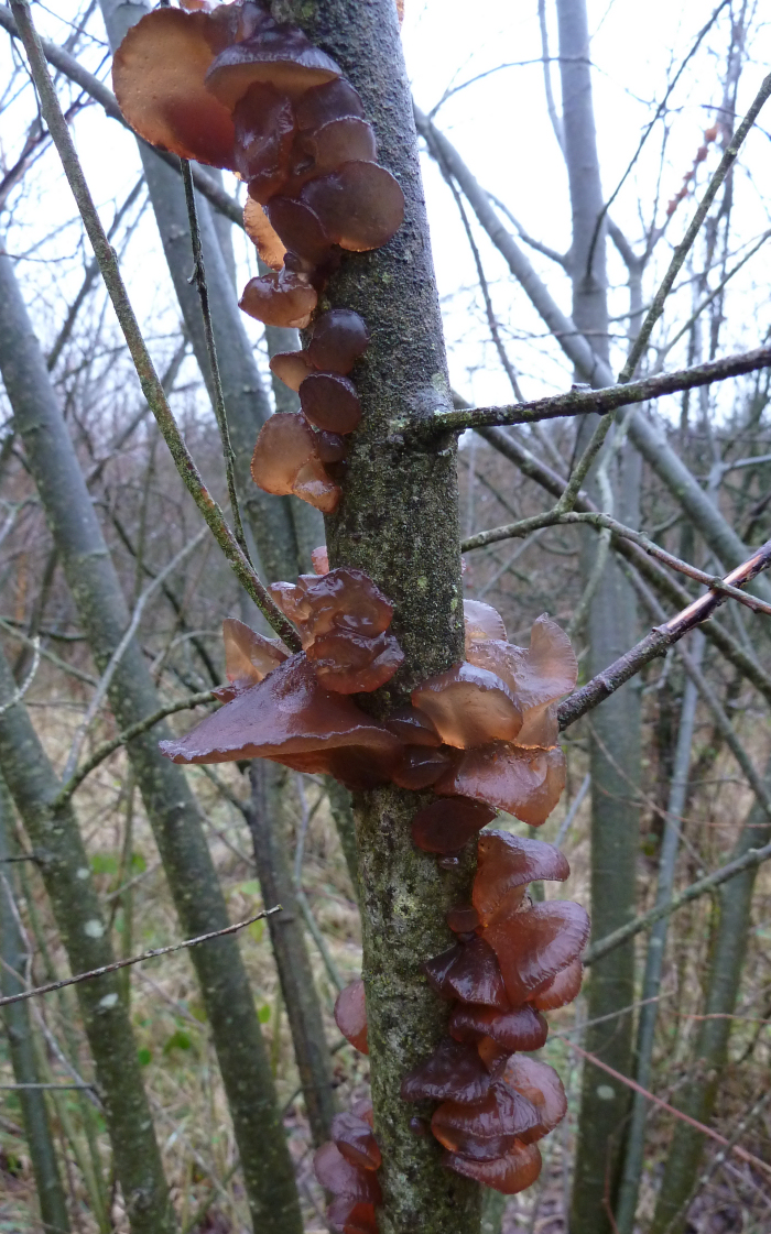 Fungi on willow