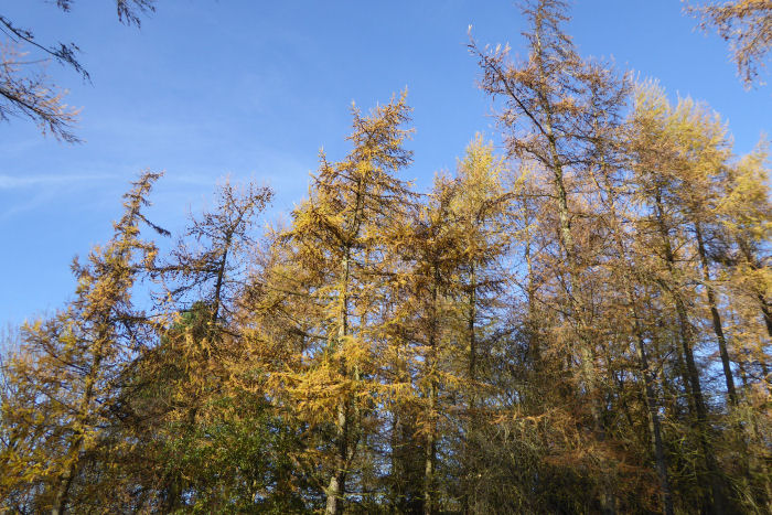 Larch against blue skies