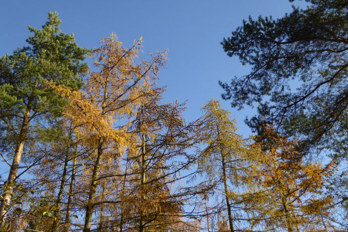 Larch colours agianst the blue sky