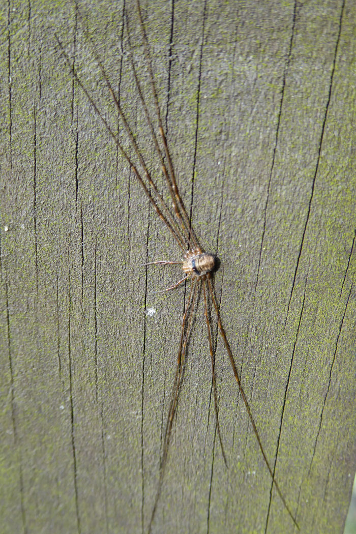 Harvestman on marker post
