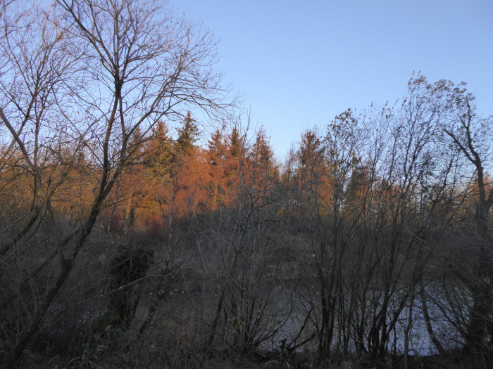 Larch trees by lake