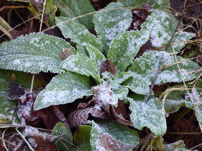 Frost covered Foxglove leaves