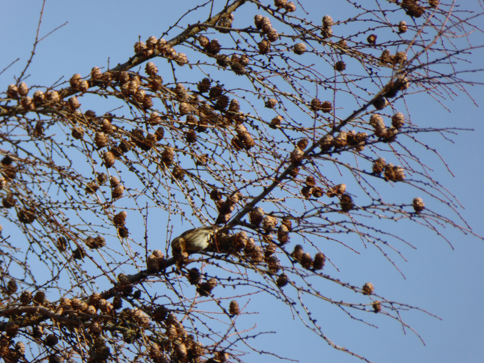 Bird in Larch tree feeding on the seeds