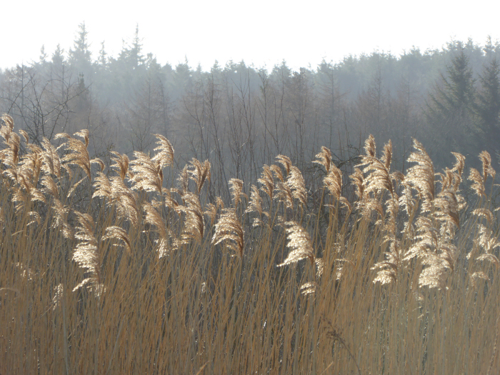 Reed seed heads in the sun