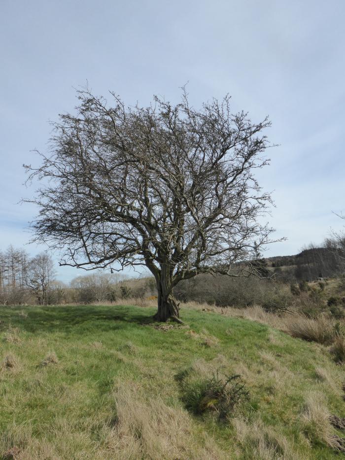 Old Hawthorn on moor