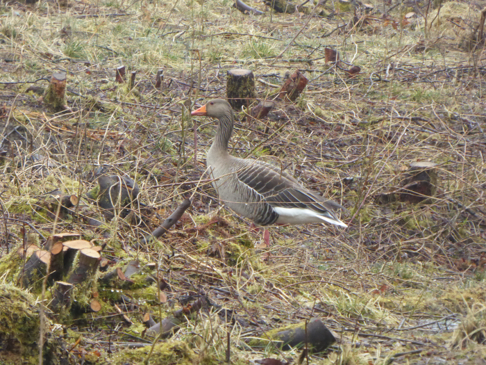Greylag Goose in the Willow Carr