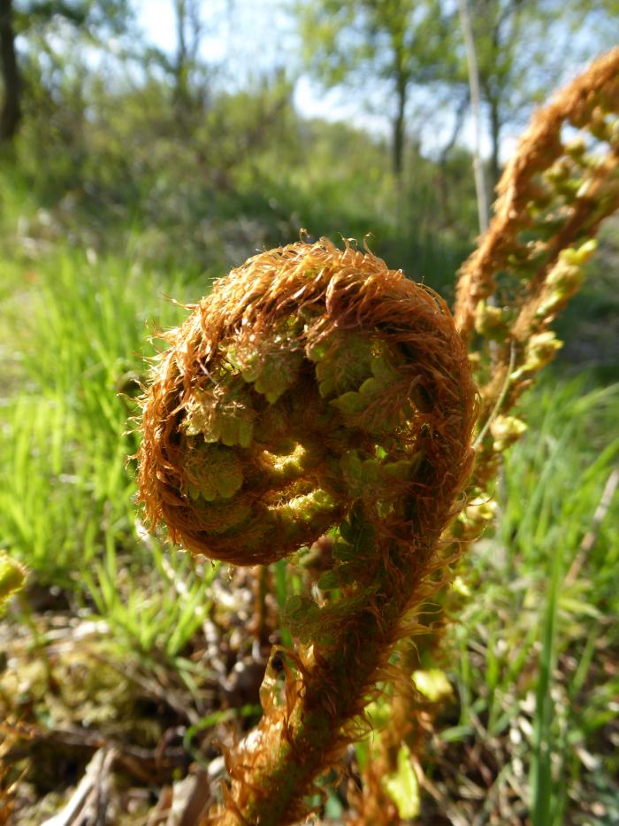 Fern unfurling in spring