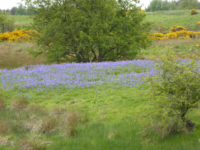 The Bluebell bank on the far moor