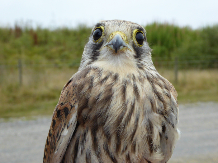Female juvenile Kestrel