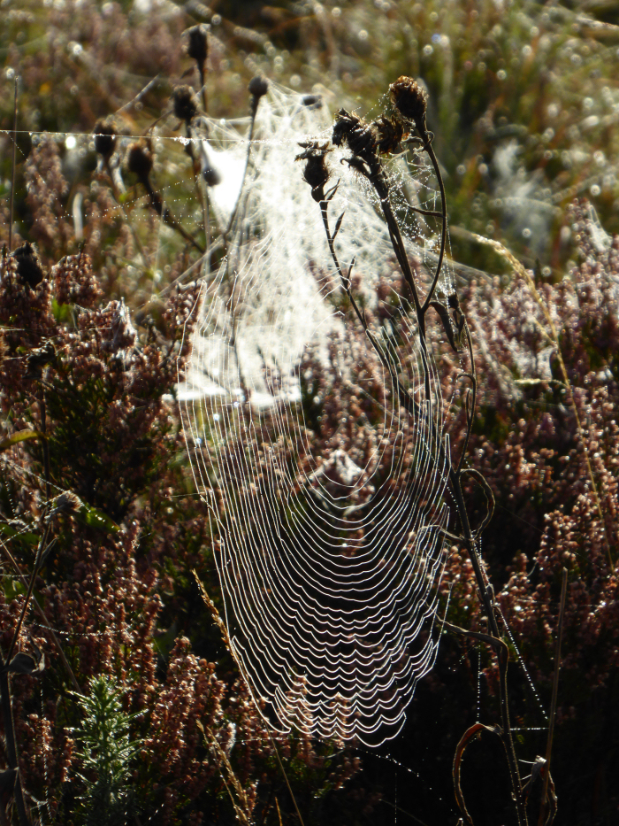 Spider web, dew coated