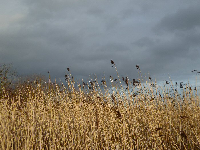 Reeds against the black clouds