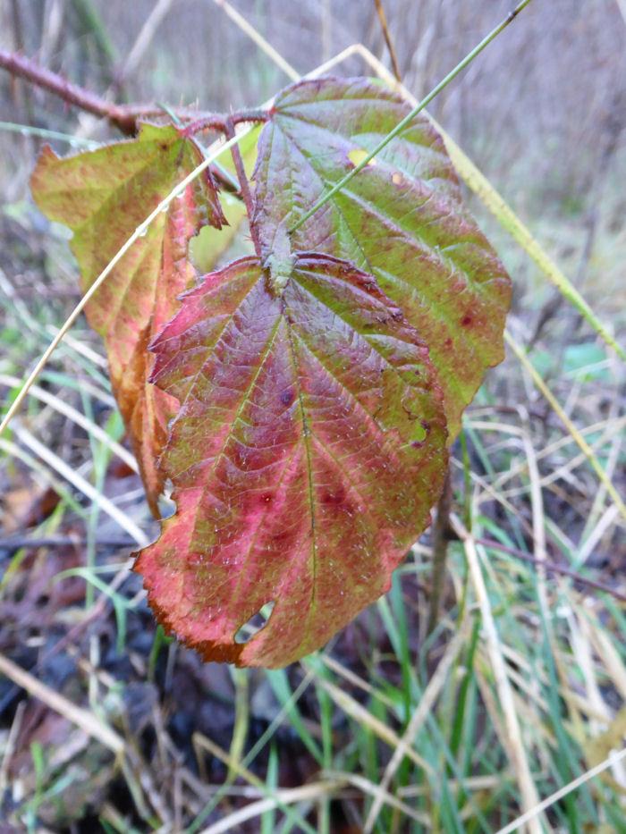 Colourful Blackberry/Bramble leaf