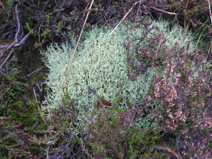 Lichen on heath