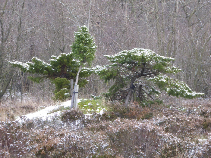 Junipers in the snow