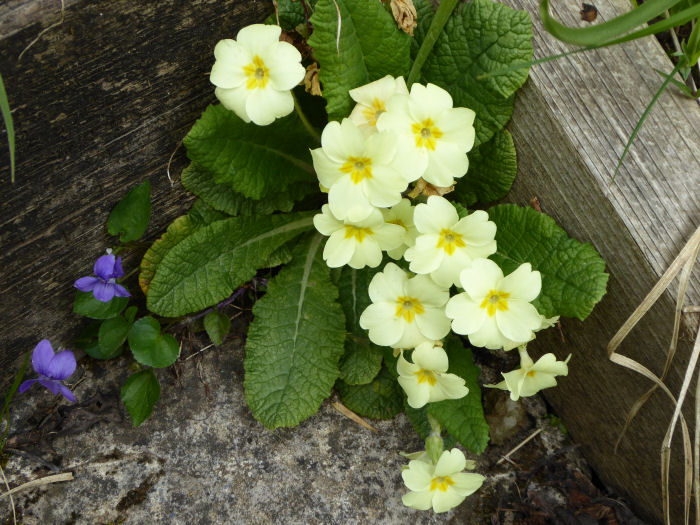 Primrose and Common Dog Violet
