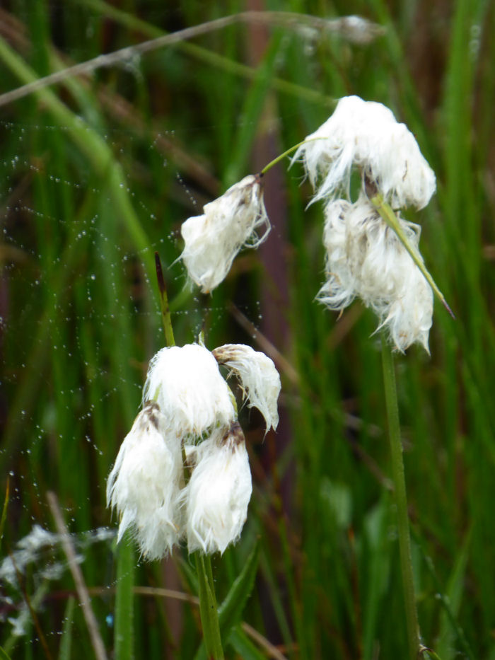 Wet Cotton Grass