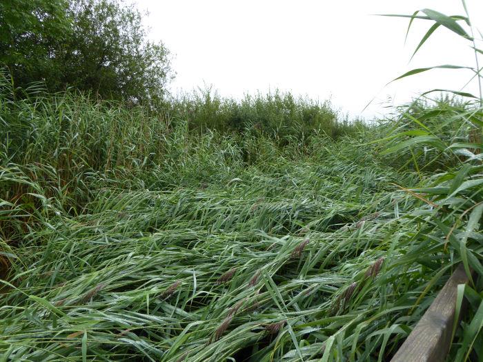 Flattened reeds