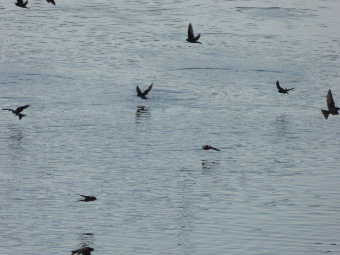 Drinking House Martins and Swallows