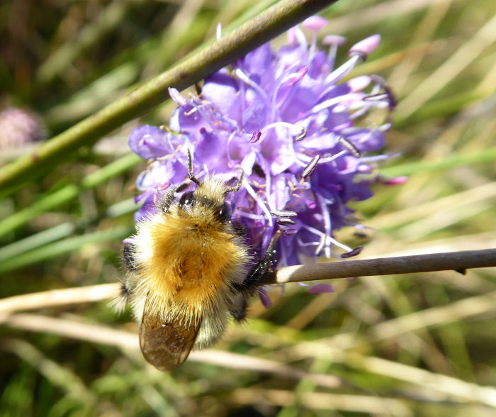 Bee on Devil's Bit Scabious
