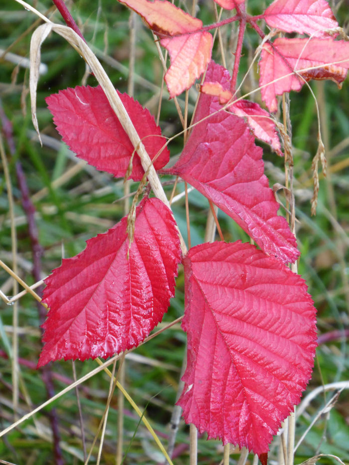 Red leaves of Bramble