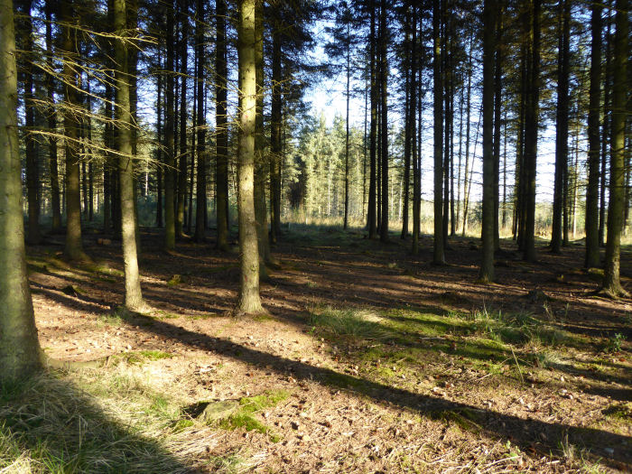 Shadows in the conifer plantation