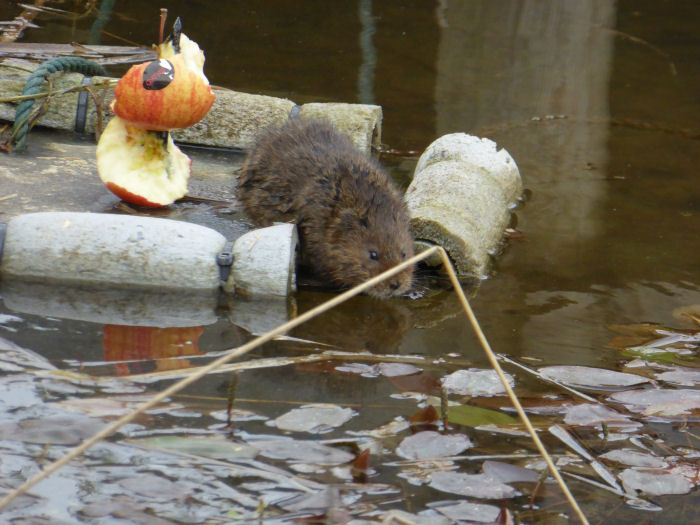 Water Vole leaving theapple raft